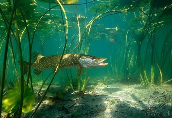 В этой ситуации некоторые рыбки оказываются от.
